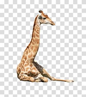 Northern giraffe Neck Animal, Animal giraffe PNG clipart