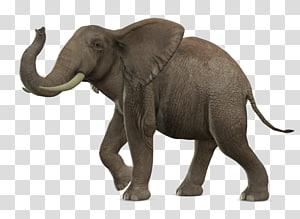 African bush elephant Asian elephant, Elephant PNG