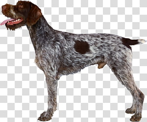 German Wirehaired Pointer Wirehaired Pointing Griffon Spinone Italiano German Shorthaired Pointer, race PNG clipart