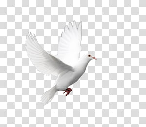 white pigeon , Domestic pigeon Columbidae Doves as symbols Holy Spirit, pigeon PNG