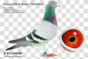 Homing pigeon Columbidae Bird Pigeon racing Breed, Bird PNG clipart