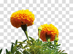 yellow marigold flower PNG