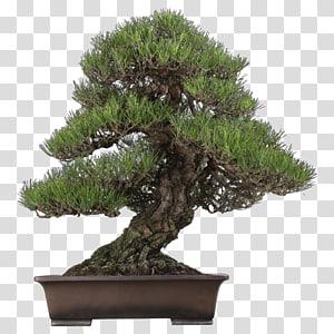 Chinese sweet plum Indoor bonsai Tree Pinus thunbergii, tree PNG clipart