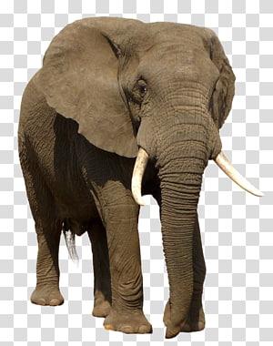 brown elephant art, African bush elephant Indian elephant Trophy hunting, elephant PNG