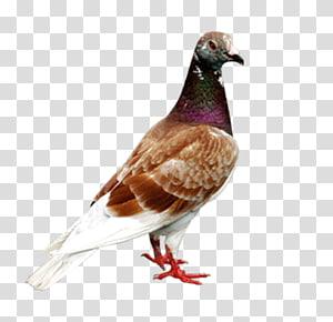 Homing pigeon Columbidae Bird Columba, pigeon PNG