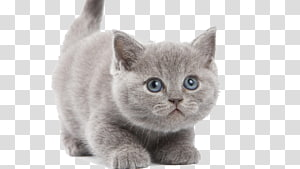 British Shorthair Chartreux Turkish Angora Persian cat Kitten, Kitten PNG