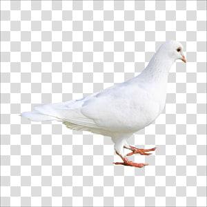 white dove, Rock dove Columbidae Bird dove, pigeon PNG