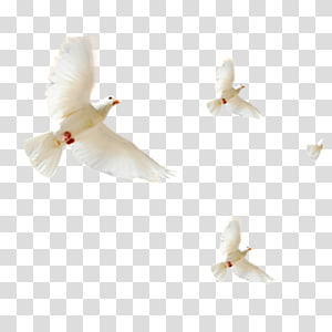 Rock dove u548cu5e73u9d3f Icon, pigeon PNG