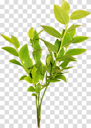 Green tea Powder Extract Leaf, twigs PNG clipart
