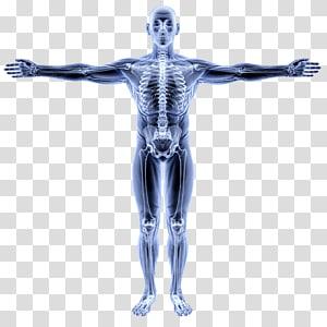 Vitruvian Man Human Anatomy Atlas Human body Organ, alberta shape PNG clipart