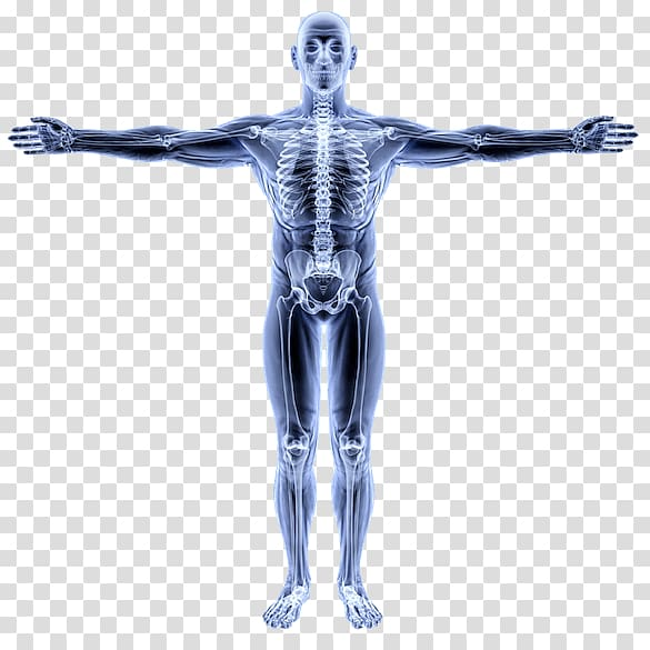 Vitruvian Man Human Anatomy Atlas Human body Organ, alberta shape PNG