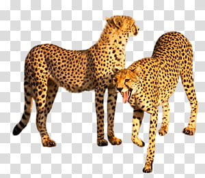 Cheetah Leopard Felidae Tiger Big cat, cheetah PNG