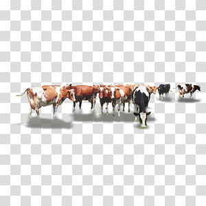 herd of dairy cows , Dairy cattle Calf Herd, Herd of cows PNG