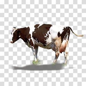 white and brown dairy cow against blue background, Dairy cattle Milk Ox, Dairy cow PNG