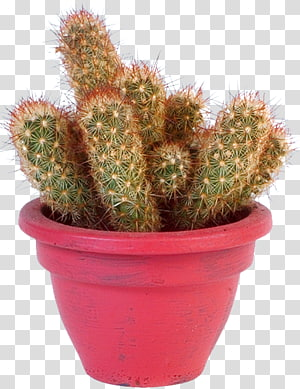 Eastern Prickly Pear Barbary fig Opuntioideae Cactus garden Succulent plant, potted cactus PNG