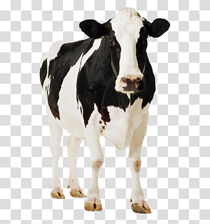 positive cows PNG clipart