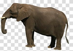 Elephant , elephant PNG
