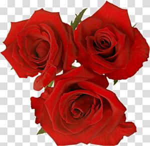Garden roses Rosa gallica Flower , rose PNG clipart