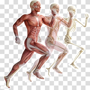 Skeletal muscle Human skeleton Muscular system Human body, Skeleton PNG