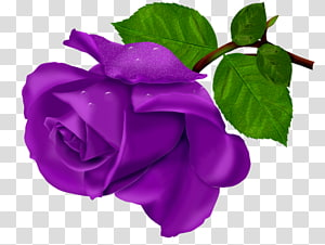 Beach rose Flower Purple, purple Rose Bouquet PNG