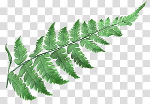 Ostrich Fern Male fern Leptosporangiate ferns , Leaf PNG clipart