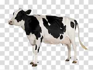 a cow PNG clipart