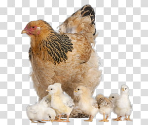 Brahma chicken Australorp Wyandotte chicken Kifaranga , others PNG