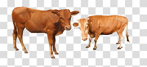 brown cows, Cattle Water buffalo, Cattle cow PNG