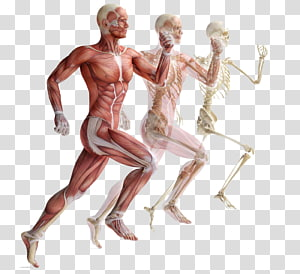 human body anatomy, Skeletal muscle Human skeleton Muscular system, Movement of human muscle anatomy PNG clipart