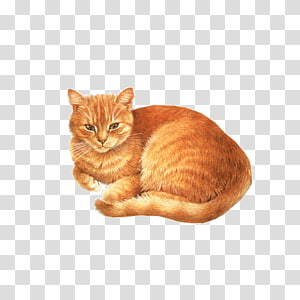 Birman Abyssinian Kitten Dog , Orange cat tummy PNG
