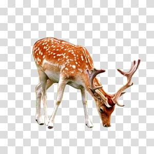 Reindeer Mammal , deer PNG clipart