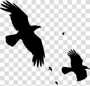 Bird Common raven Carrion crow , flying raven overlay PNG