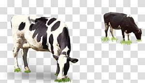 in grazing cows PNG clipart