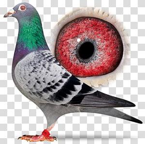 Columbidae Homing pigeon Derby ARONA Pigeon racing Loft, racing pigeon PNG clipart