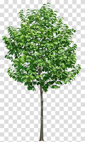 Tree , tree PNG