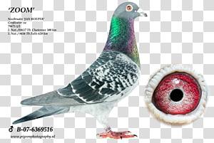 Homing pigeon Racing Homer Pigeon racing Pigeon keeping Columbinae, racing pigeon PNG