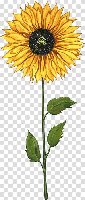 Common sunflower Sunflower seed Cartoon , Sunflower painting PNG