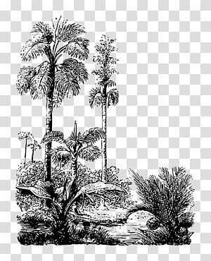 Asian palmyra palm Drawing Arecaceae Pine /m/02csf, jungle Backdrop PNG