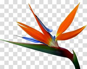 orange, green, and blue birds of paradise flower, Strelitzia reginae Bird-of-paradise Drawing Flower, bird flower PNG clipart