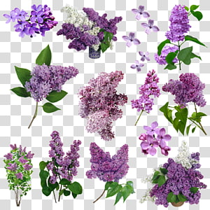 Lilac Flower Purple Violet, FLORES PNG