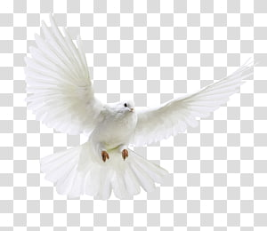 peace dove PNG
