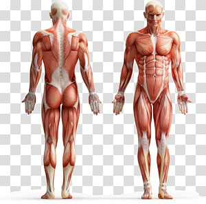 Human body Muscle tissue Muscular system Body fluid, others PNG