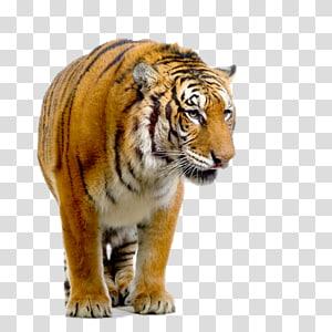hd tiger PNG