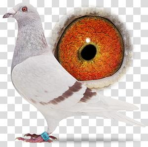 Racing Homer Columbidae Homing pigeon Bird Beak, Bird PNG clipart