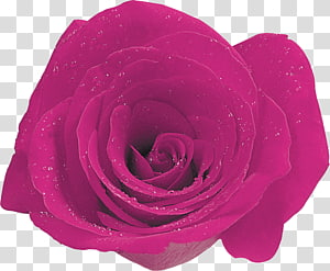 Garden roses Cabbage rose Floribunda Cut flowers Petal, others PNG