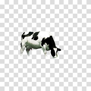 white and black cattle, Dairy cattle, Dairy cow PNG