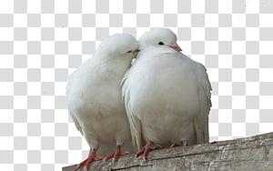 Columbidae Lovebird Domestic pigeon Squab, Pigeons PNG