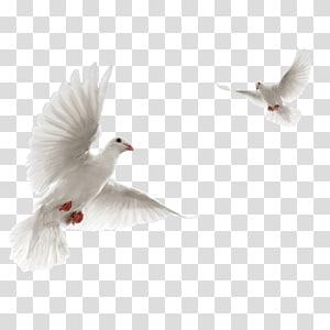 Columbidae Rock dove Flight Bird, Bird PNG