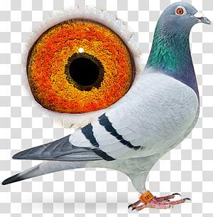 Beak Homing pigeon Racing Homer Columbidae Fancy pigeon, Bird PNG clipart