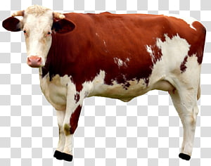 brown and white cow, Cattle Milk Calf, Cow PNG